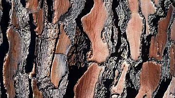 La sève circule sous l'écorce et non au cœur de l'arbre
