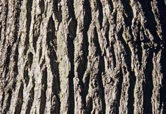 L'écorce du Chêne sessile