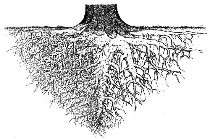 Le système racinaire d'un arbre constitue sous la terre tout un réseau de grosses et petites racines qui vont puiser les éléments nutritifs et l'eau