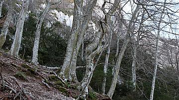 Les chênes centenaires de la Sainte-Baume