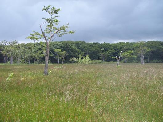 Forêt marécageuse de Golconde : située dans le Gand Cul-de-Sac Marin, elle fait l'objet d'une expérimentation de restauration de l'espèce P.officinalis