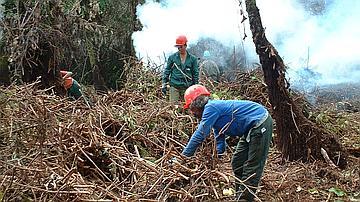 De nombreux chantiers sont ouverts pour lutter contre les nombreuses pestes végétales (ici le Raisin marron à Bélouve)