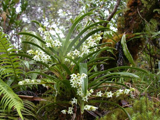 Les orchidées de forêt, à la fois si resplendissantes et fragiles (ici Angraecum striatum)