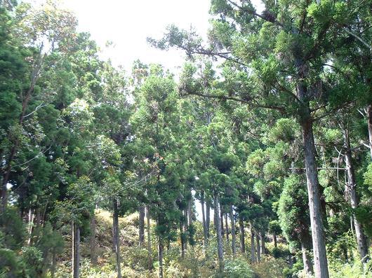 Une fois l'arbre abattu pour valoriser son bois, la cîme des cryptomérias se transforme à noël en merveilleux sapin lumineux