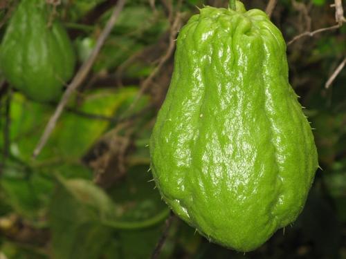 Le chouchou est un légume apprécié et préparé aux saveurs tropicales