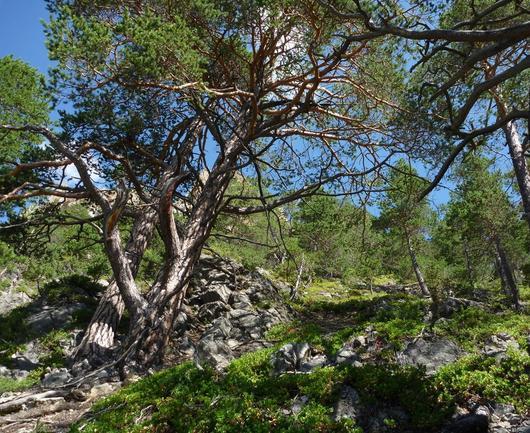 Vieille forêt de pins sylvestres aux formes torturées