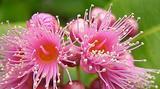 Bois de pomme (Syzygium cymosum var. montanum)