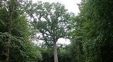 Le Chêne Hippolyte - Age estimé : 300 ans - 5,26 m de circonférence à 1,30 m du sol -  Hauteur totale : 30 m