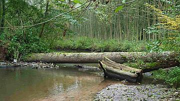 Un arbre tombé en travers de la Lauter