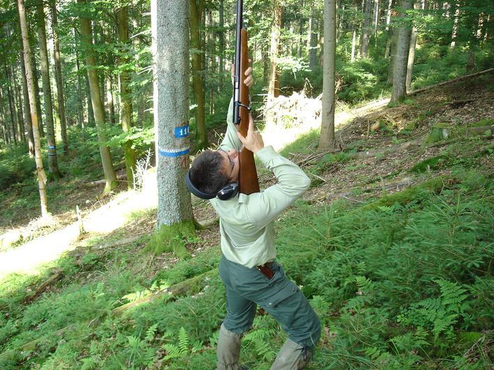 Pour prélever les feuilles dans le haut des arbres, l'utilisation d'un fusil est nécessaire