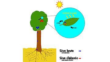 Schéma de photosynthèse