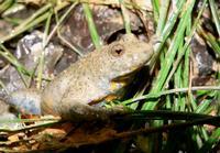 Le dos bosselé différencie un crapaud d'une grenouille, des glandes cutanées sécrètent un liquide visqueux à odeur d'ail, irritant pour les yeux