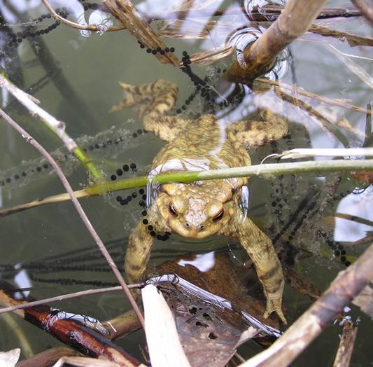 Adulte, le crapaud ne va dans l'eau que pour se reproduire