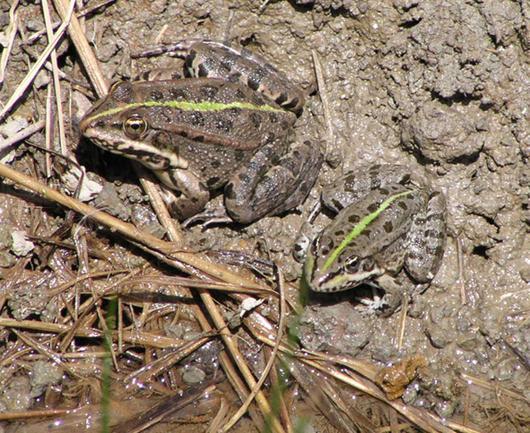 La trame verte dorsale est une grand signe de reconnaissance des grenouilles vertes