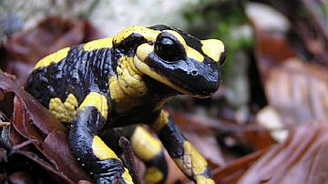 La salamandre a longtemps été considérée comme engendrée par le feu