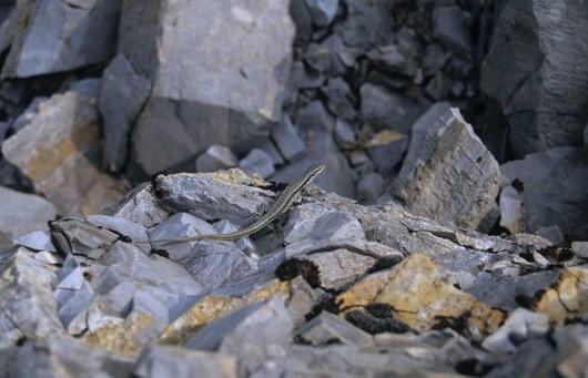 Réchauffé par le soleil, le Lézard des murailles a une très grande souplesse pour escalader la rocaille