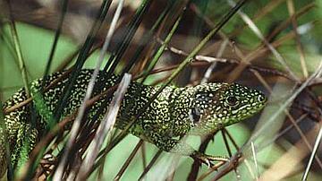 Le Lézard vert arrive même à évoluer dans les herbes