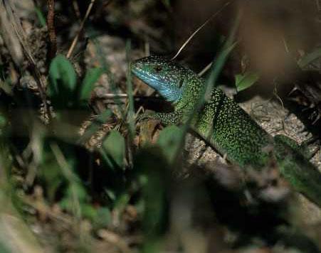 Il utilise son vert magnifique pour faire le caméléon dans les herbes
