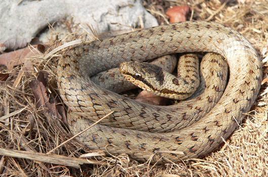 Comme tous les serpents, la Coronelle aime à se mettre en boucle pour préserver sa chaleur