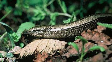 L'Orvet est un lézard à corps serpentiforme, dépourvu de membres