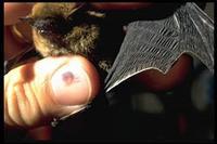 Pipistrelle de Kuhl