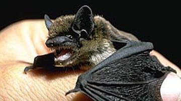 Pipistrelle de Savi