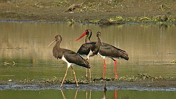 Le plus grand oiseau forestier quitte la forêt pour aller se nourrir dans les ruisseaux et vasières