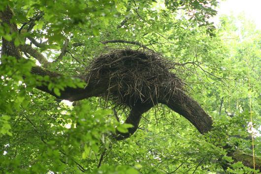 Ce nid occupe une position typique : sur la fourche d'une branche latérale d'un vieux chêne, il permet un bon atterrissage pour cet oiseau d'envergure