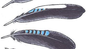 Les rayures bleues et blanches si caractéristiques parent les petites  plumes comme les plus grandes