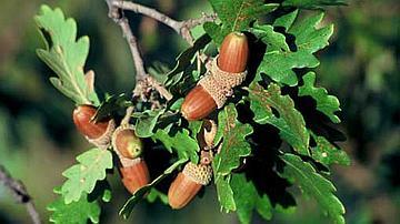 Le Geai est friand de glands, il en sème aussi, pour le bonheur des forestiers