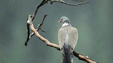 Le Pigeon ramier est chassé durant une période limitée