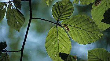 Au printemps, mes feuilles sont bordées de poils