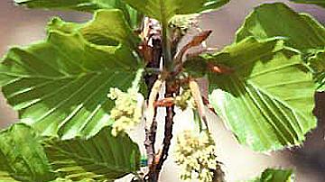 Mes bourgeons pointus s'éclatent au printemps, pour le bonheur des feuilles