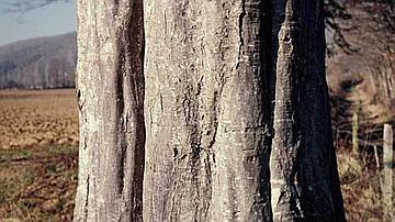 L'écorce très mince du Charme épouse le tronc cannelé