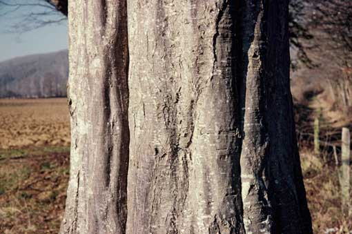 Onf le charme l arbre des haies abondant mais oubli - Reconnaitre les arbres par leur tronc ...