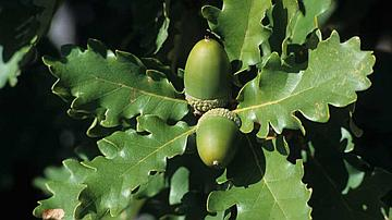 Selon les chênes, les formes des glands varient. Ici, des glands de Chêne pubescent
