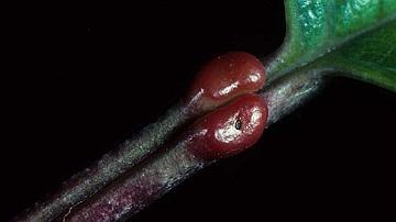 Mon signe distinctif : ces deux petites poches rouges à la base de mes feuilles