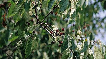 Les merises sont des fruits très prisés par les oiseaux et les renards