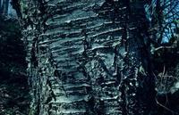 Mon écorce, très lisse, s'enlève par bandes horizontales. Comme celle du Bouleau