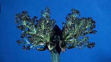 Mes gros bourgeons noirs sont mon signe distinctif parmi les feuillus
