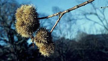 Piquantes comme des oursins, mes bogues enveloppent une à deux châtaignes