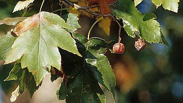 Mes fruits se nomment « alises ».