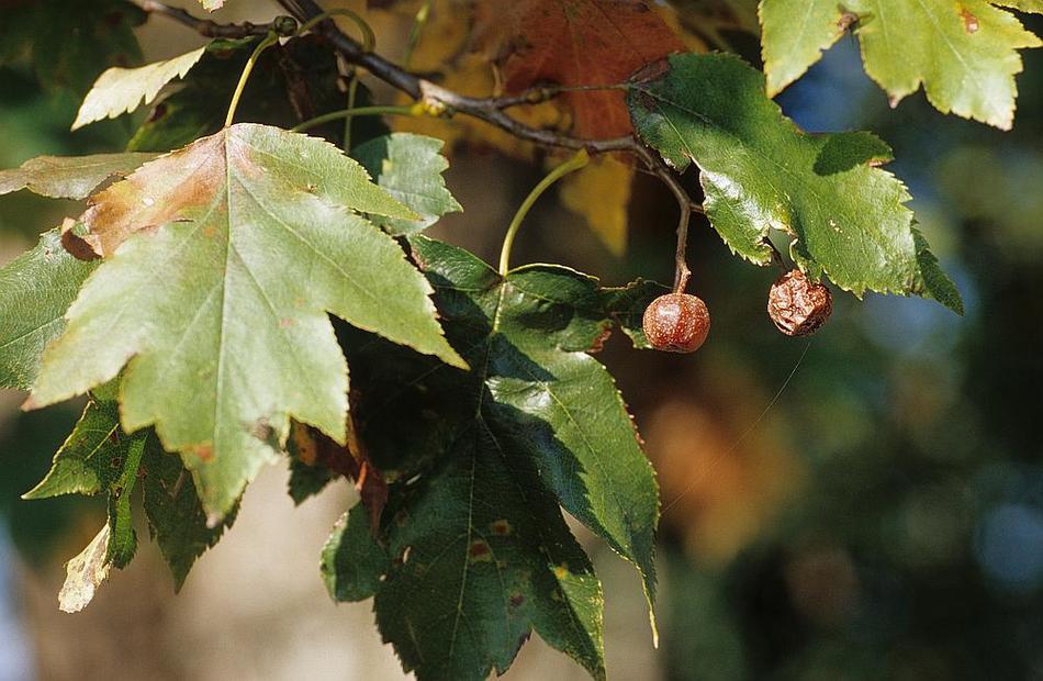 reconnaître fruits des arbres