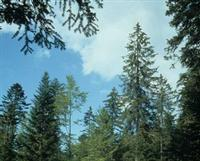 Je suis un hôte classique des forêts de montagne