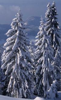 En montagne, je me suis adapté au poids de la neige en adoptant une forme columnaire, c'est-à-dire en gardant les branches proches du tronc