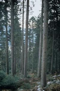Les troncs droits et élancés d'une pessière