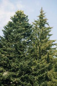 Sapin à gauche, Epicea à droite : notez la différence de silhouette