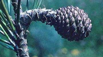 Particularités : mes cônes pédonculés se développent sur 3 ans