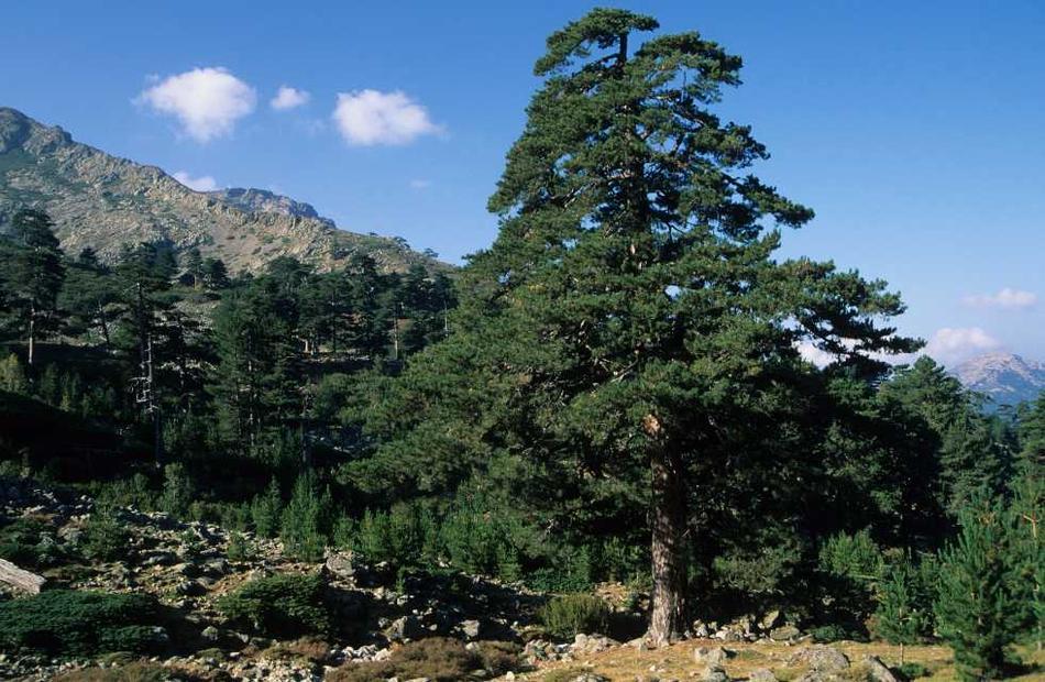 Onf le pin laricio de corse le pin de l le de kallist - Differentes especes de pins ...