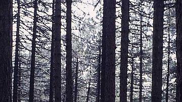 Je suis une essence unique des forêts cathédrales corses